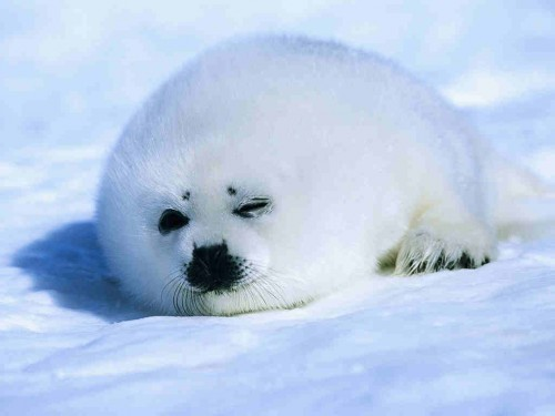 7. Baby Seal