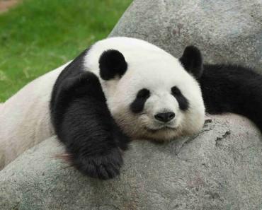 8. Panda
