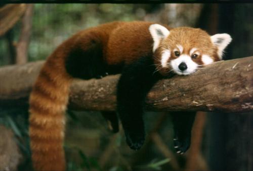 9. Red Panda