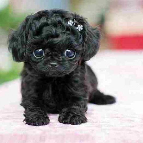 9. The Poodle