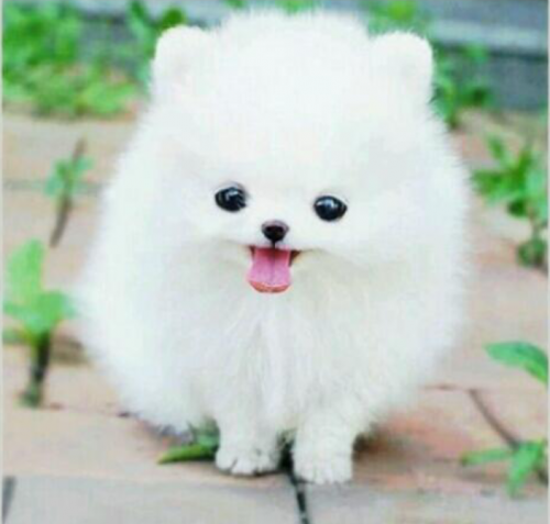 Pom Pom Puppy