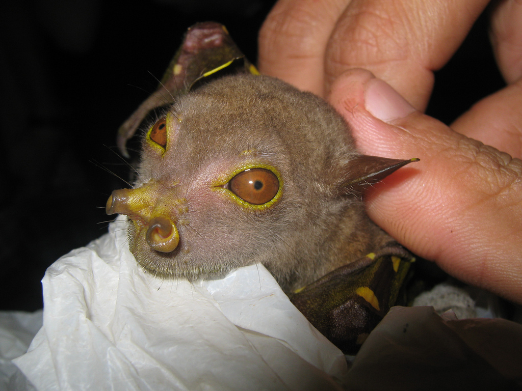 Image result for Tube Nosed Fruit Bat