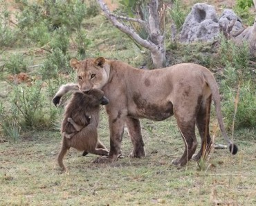 1. The Victor Dragging The Female Baboon by the Neck