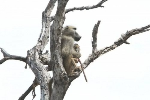 10. Father Baboon Cuddling His Baby