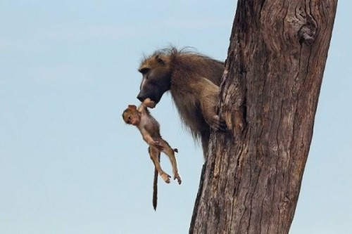 9. The Baby Baboon Back Into Safety
