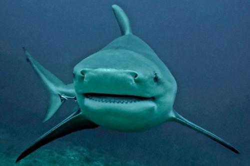 Bull-Shark-(1)