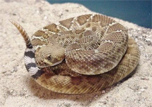 Rattle-Snake