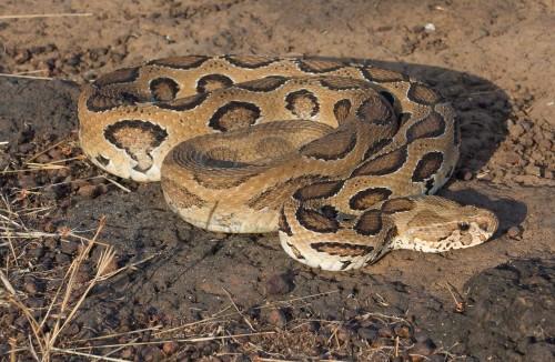 russells viper