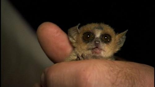 Madame-Berthe-Mouse-Lemur