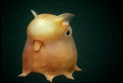 """Grimpoteuthis - A """"Dumbo Octopus"""""""