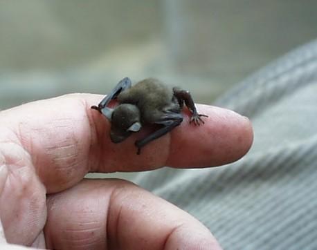 kitti's hog nosed bat