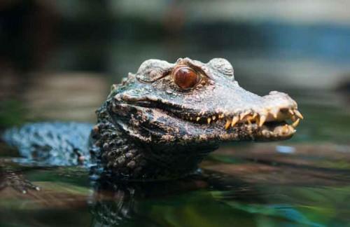 musky caiman crocodile