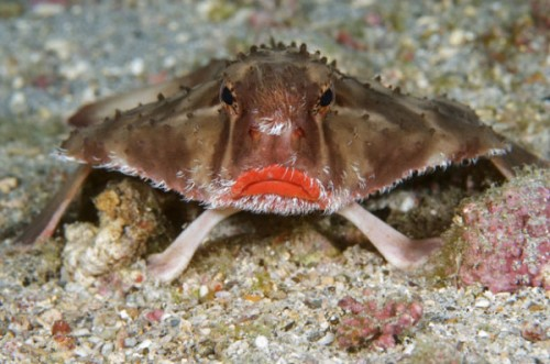 roughback batfish