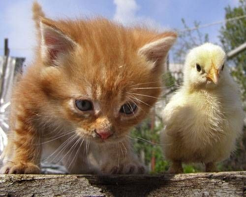 the chick and the kitten