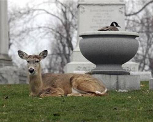 the deer and the goose