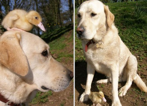 the labrador and the duckling